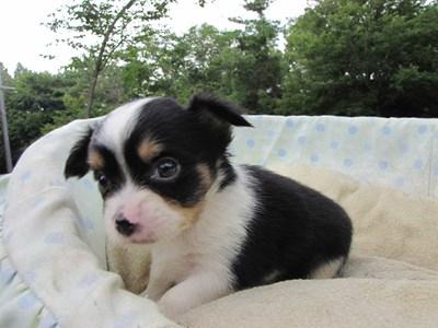 チワワ(ロング)の子犬(ID:1232811032)の3枚目の写真/更新日:2014-07-07