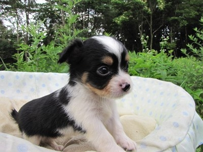 チワワ(ロング)の子犬(ID:1232811032)の4枚目の写真/更新日:2014-07-07