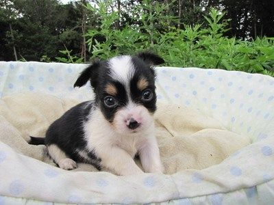 チワワ(ロング)の子犬(ID:1232811032)の5枚目の写真/更新日:2014-07-07