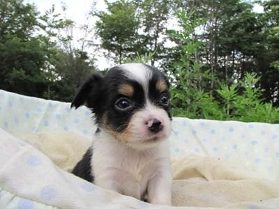 チワワ(ロング)の子犬(ID:1232811032)の6枚目の写真/更新日:2014-07-07