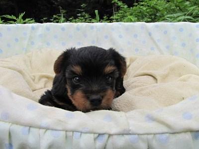 ヨークシャーテリアの子犬(ID:1232811033)の1枚目の写真/更新日:2014-07-14