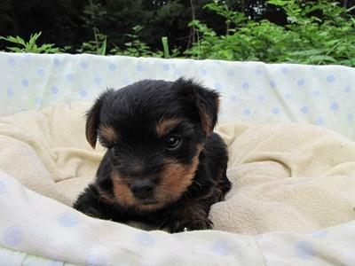 ヨークシャーテリアの子犬(ID:1232811033)の2枚目の写真/更新日:2014-07-14