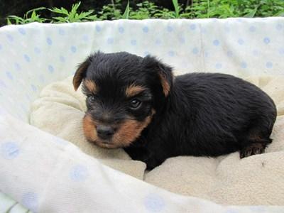 ヨークシャーテリアの子犬(ID:1232811033)の3枚目の写真/更新日:2014-07-14