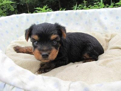 ヨークシャーテリアの子犬(ID:1232811033)の4枚目の写真/更新日:2014-07-14
