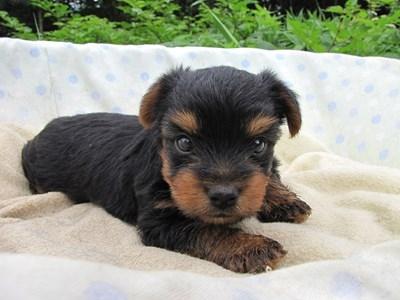 ヨークシャーテリアの子犬(ID:1232811033)の5枚目の写真/更新日:2014-07-14