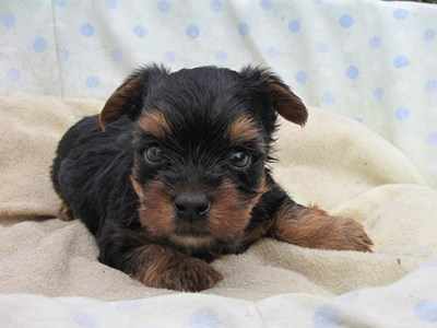 ヨークシャーテリアの子犬(ID:1232811034)の1枚目の写真/更新日:2014-07-16