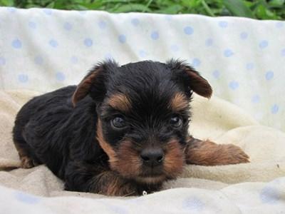 ヨークシャーテリアの子犬(ID:1232811034)の2枚目の写真/更新日:2014-07-16