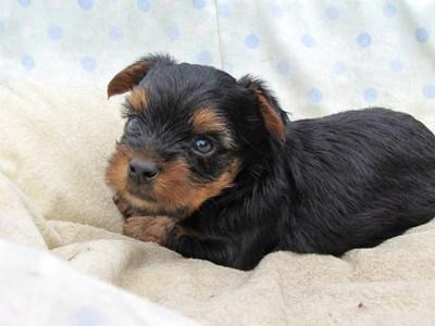ヨークシャーテリアの子犬(ID:1232811034)の3枚目の写真/更新日:2014-07-16