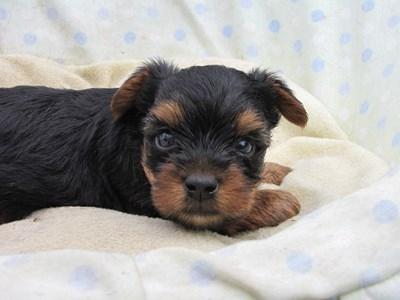 ヨークシャーテリアの子犬(ID:1232811034)の4枚目の写真/更新日:2014-07-16