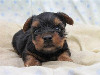 ヨークシャーテリアの子犬(ID:1232811034)の5枚目の写真/更新日:2014-07-16