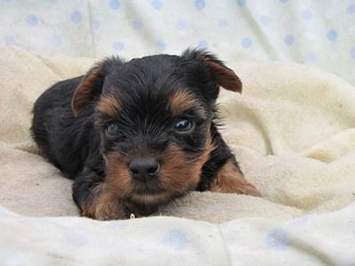 ヨークシャーテリアの子犬(ID:1232811034)の6枚目の写真/更新日:2014-07-16