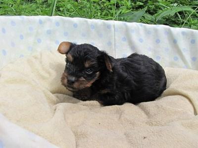 ヨークシャーテリアの子犬(ID:1232811035)の1枚目の写真/更新日:2014-07-18