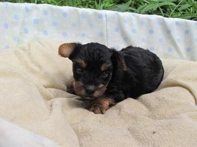 ヨークシャーテリアの子犬(ID:1232811035)の2枚目の写真/更新日:2014-07-18