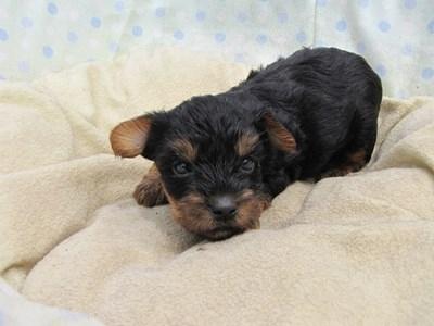 ヨークシャーテリアの子犬(ID:1232811035)の3枚目の写真/更新日:2014-07-18