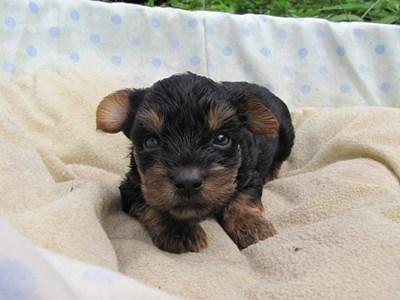 ヨークシャーテリアの子犬(ID:1232811035)の4枚目の写真/更新日:2014-07-18