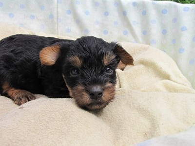 ヨークシャーテリアの子犬(ID:1232811035)の5枚目の写真/更新日:2014-07-18
