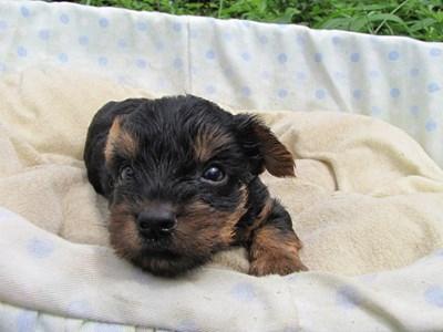 ヨークシャーテリアの子犬(ID:1232811035)の6枚目の写真/更新日:2014-07-18