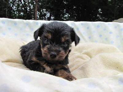 ヨークシャーテリアの子犬(ID:1232811036)の1枚目の写真/更新日:2014-07-19