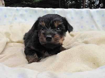 ヨークシャーテリアの子犬(ID:1232811036)の2枚目の写真/更新日:2014-07-19