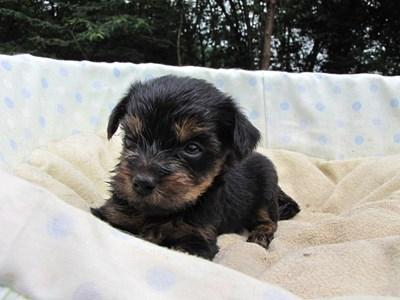 ヨークシャーテリアの子犬(ID:1232811036)の4枚目の写真/更新日:2014-07-19
