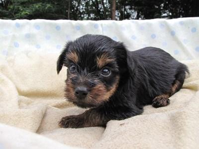 ヨークシャーテリアの子犬(ID:1232811036)の5枚目の写真/更新日:2014-07-19