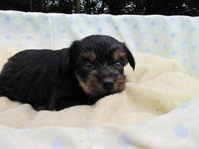 ヨークシャーテリアの子犬(ID:1232811036)の6枚目の写真/更新日:2014-07-19