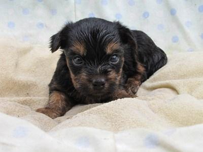 ヨークシャーテリアの子犬(ID:1232811037)の1枚目の写真/更新日:2014-07-20