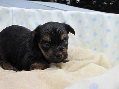 ヨークシャーテリアの子犬(ID:1232811037)の2枚目の写真/更新日:2014-07-20