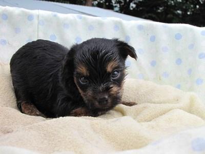 ヨークシャーテリアの子犬(ID:1232811037)の3枚目の写真/更新日:2014-07-20
