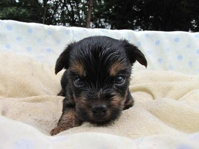 ヨークシャーテリアの子犬(ID:1232811037)の4枚目の写真/更新日:2014-07-20
