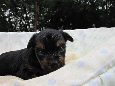 ヨークシャーテリアの子犬(ID:1232811037)の5枚目の写真/更新日:2014-07-20