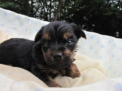 ヨークシャーテリアの子犬(ID:1232811037)の6枚目の写真/更新日:2014-07-20