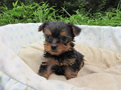 ヨークシャーテリアの子犬(ID:1232811038)の2枚目の写真/更新日:2014-08-01