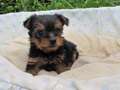 ヨークシャーテリアの子犬(ID:1232811038)の3枚目の写真/更新日:2014-08-01