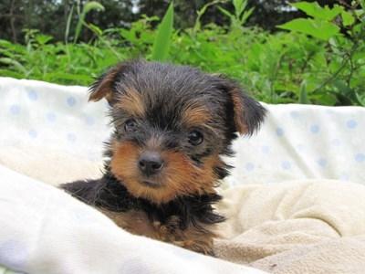 ヨークシャーテリアの子犬(ID:1232811038)の4枚目の写真/更新日:2014-08-01