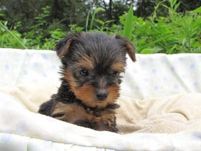 ヨークシャーテリアの子犬(ID:1232811038)の5枚目の写真/更新日:2014-08-01