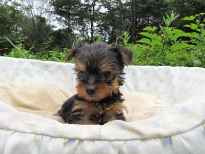 ヨークシャーテリアの子犬(ID:1232811038)の6枚目の写真/更新日:2014-08-01