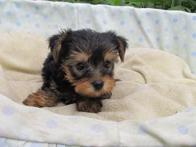 ヨークシャーテリアの子犬(ID:1232811039)の1枚目の写真/更新日:2014-08-02