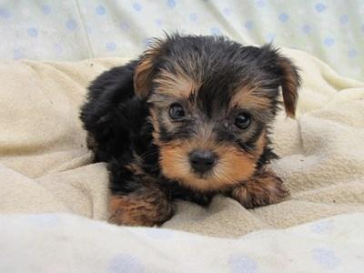 ヨークシャーテリアの子犬(ID:1232811039)の2枚目の写真/更新日:2014-08-02