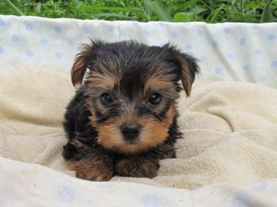 ヨークシャーテリアの子犬(ID:1232811039)の3枚目の写真/更新日:2014-08-02