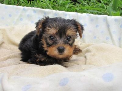 ヨークシャーテリアの子犬(ID:1232811039)の4枚目の写真/更新日:2014-08-02