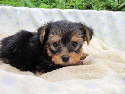 ヨークシャーテリアの子犬(ID:1232811039)の5枚目の写真/更新日:2014-08-02