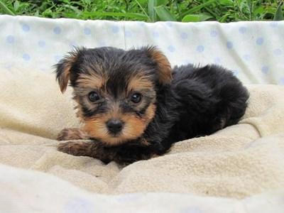 ヨークシャーテリアの子犬(ID:1232811039)の6枚目の写真/更新日:2014-08-02