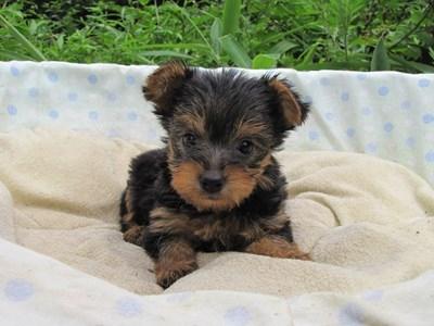 ヨークシャーテリアの子犬(ID:1232811040)の1枚目の写真/更新日:2014-08-03