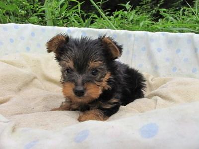 ヨークシャーテリアの子犬(ID:1232811040)の2枚目の写真/更新日:2014-08-03