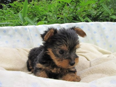 ヨークシャーテリアの子犬(ID:1232811040)の3枚目の写真/更新日:2014-08-03