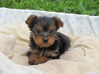 ヨークシャーテリアの子犬(ID:1232811040)の4枚目の写真/更新日:2014-08-03