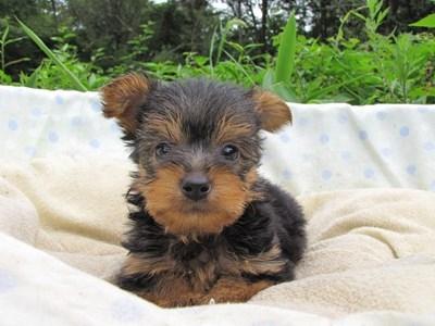 ヨークシャーテリアの子犬(ID:1232811040)の5枚目の写真/更新日:2014-08-03
