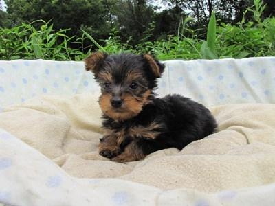 ヨークシャーテリアの子犬(ID:1232811040)の6枚目の写真/更新日:2014-08-03