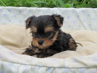 ヨークシャーテリアの子犬(ID:1232811041)の1枚目の写真/更新日:2014-08-07